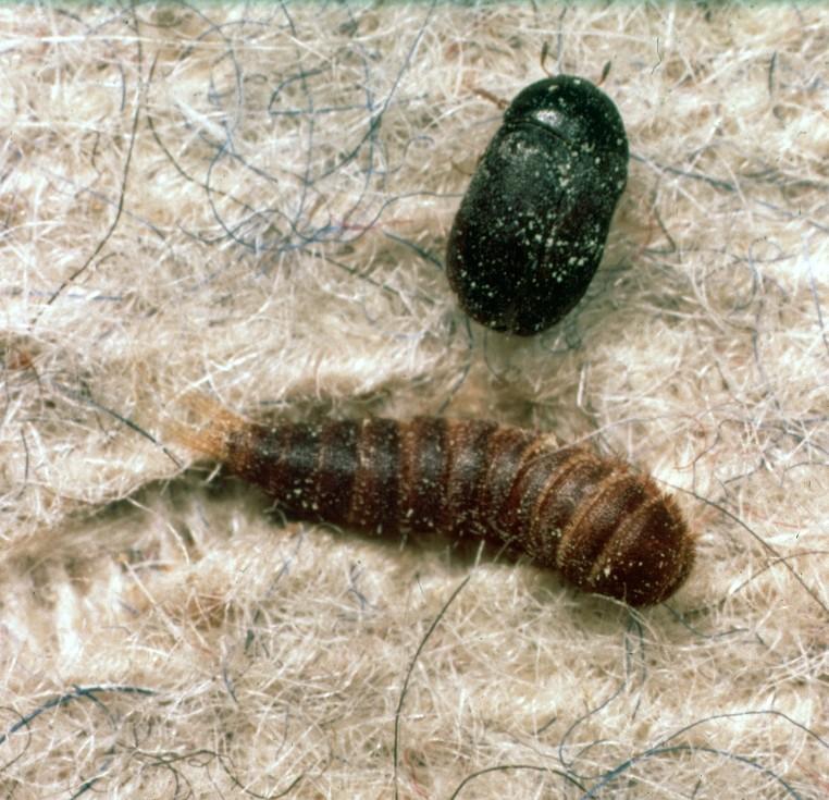 жук и его личинка