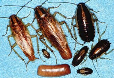 как размножаются домашние тараканы