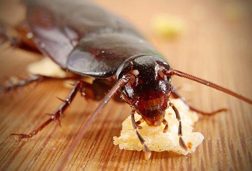 Борьба с тараканами в домашних условиях народные