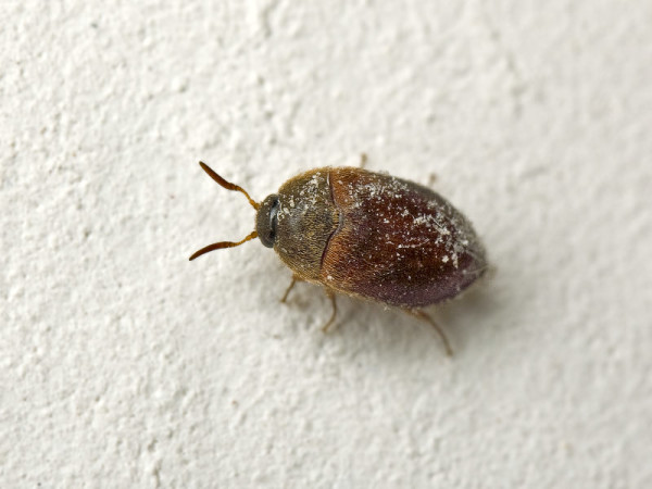 как избавится от жука кожееда в квартире