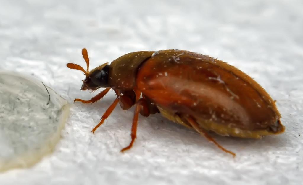 укусы жука кожееда