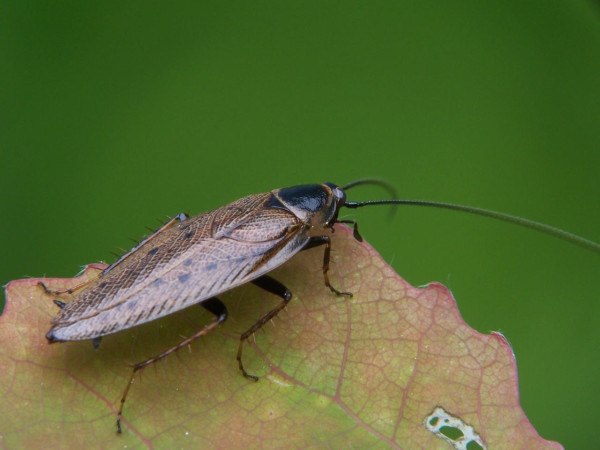 лапландский таракан