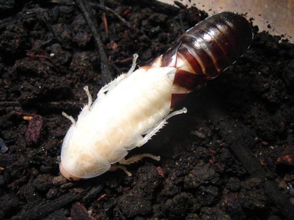 линька белого таракана