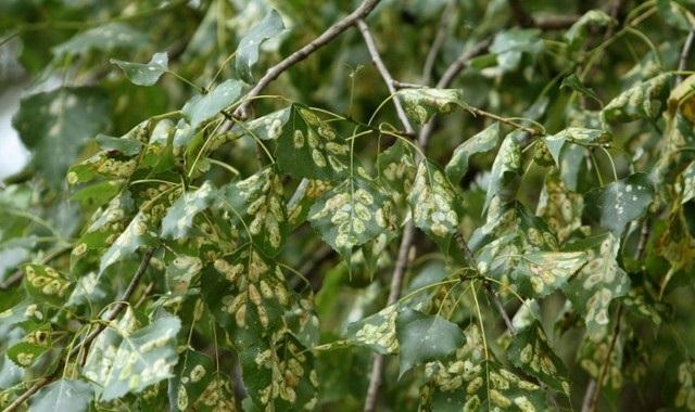 листья тополя пораженные молью
