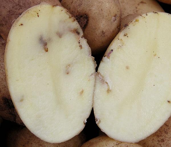 повреждение молью картофеля