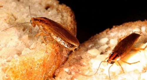 Сколько живут домашние тараканы, в том числе без еды, воды и головы