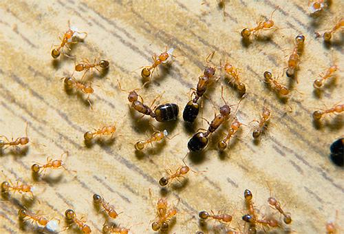 фараоновы муравьи