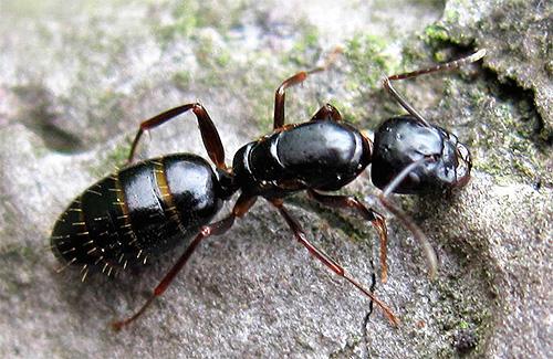 муравей древоточец
