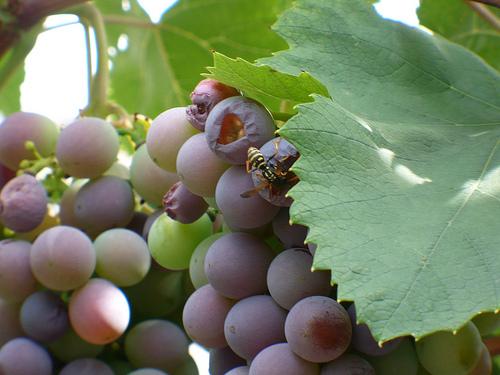 осы наносят вред винограду
