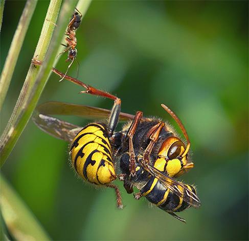 шершень при нападение на насекомых использует мощные челюсти