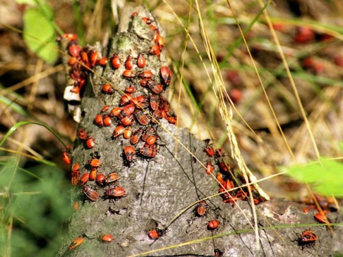скопление клопов на пне дерева