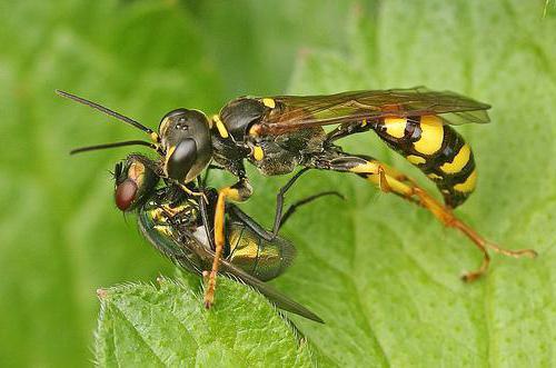 земляные осы хищники