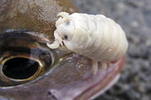 мокрица на рыбе