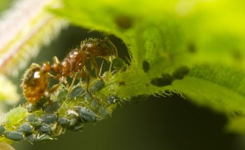 муравей переносит тлей с растения на растение