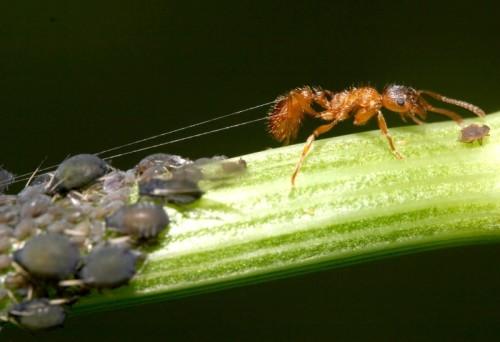 муравьи и тля