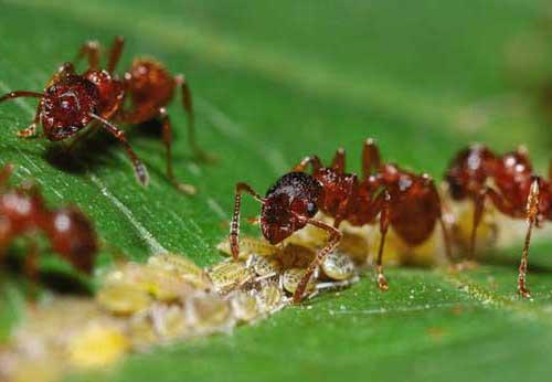 муравьи защищают тлю