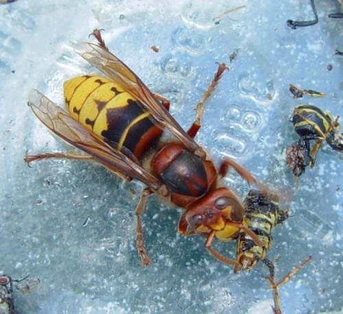 шершень убивает пчел