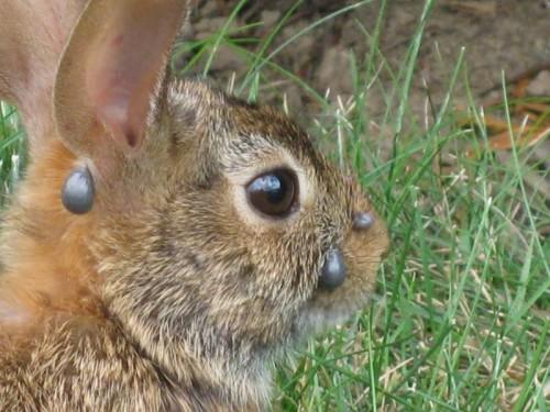 клещи на зайце