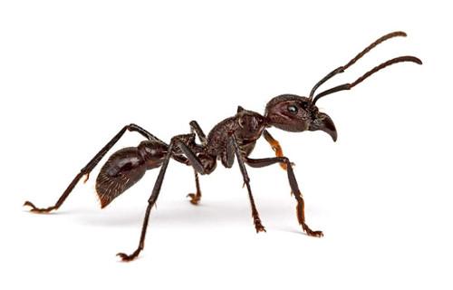 муравей-пуля