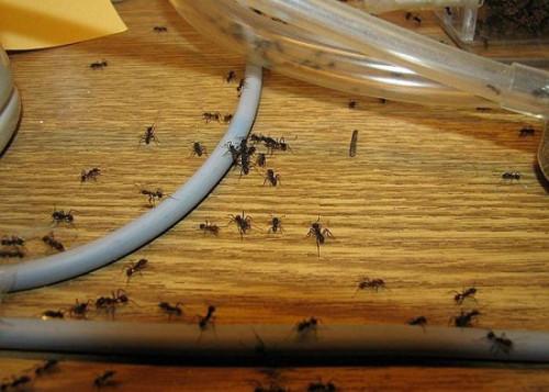 Красные муравьи как избавиться в домашних условиях
