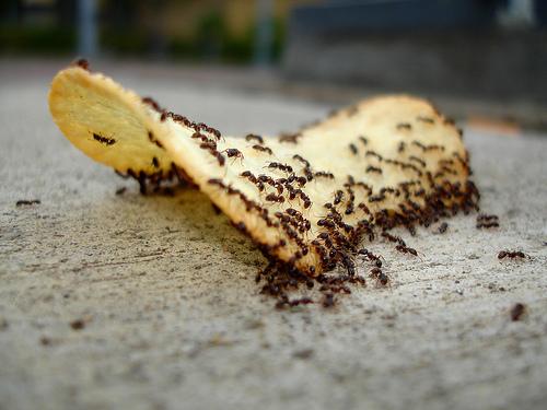 муравьи на кухне