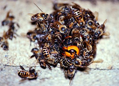 пчелы убивают шершня