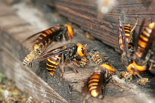 шершни нападают на пчел