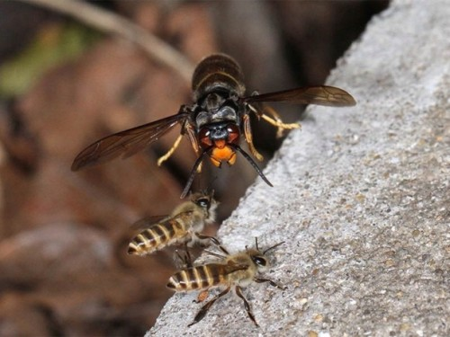 японский шершень нападает на пчел