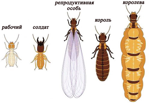 caste of insects
