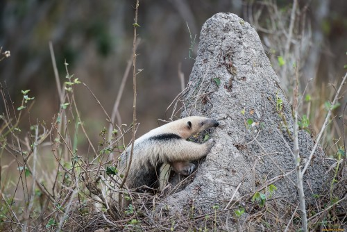 anteaters are not averse to eating termites