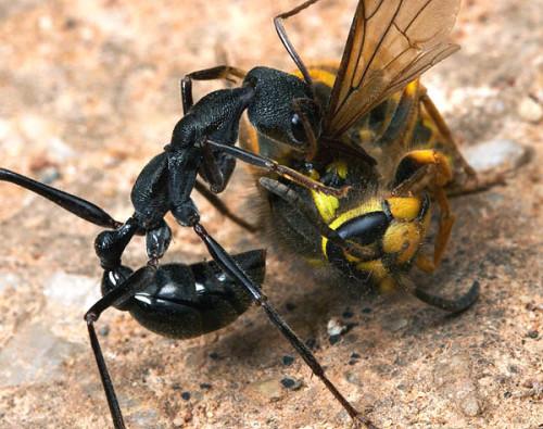муравей на охоте