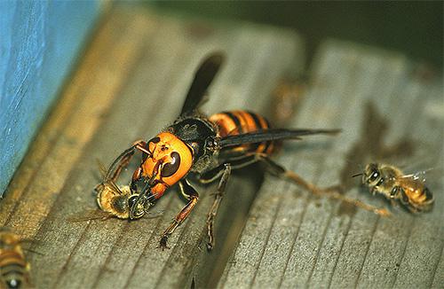 шершень нападает на пчел