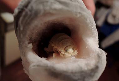 Сибас с паразитом во рту