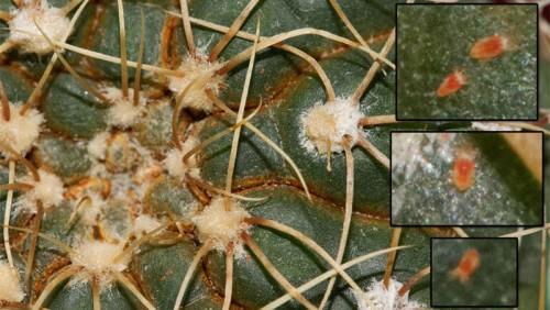 Кактусовый паутинный клещ