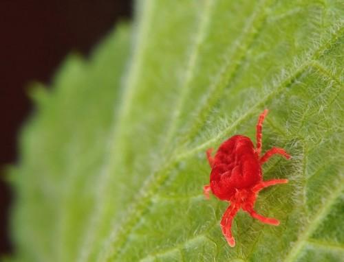 Красный паутинный клещ