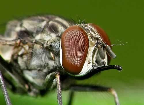 мухи жигалки фото