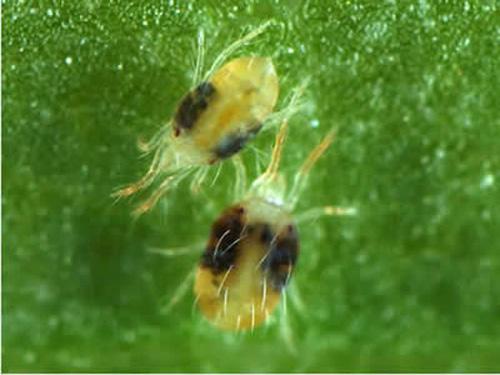 На фото паутинные клещи