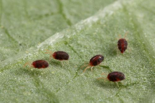 Паутинный клещ поразитирует на растениях