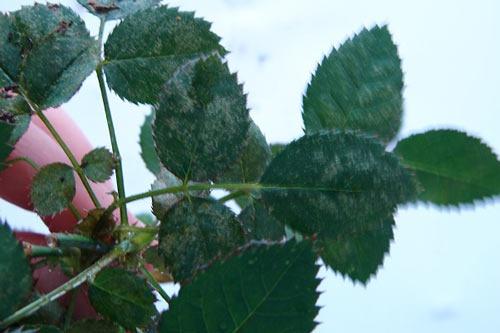 На фото растение, пораженное паутинным клещем