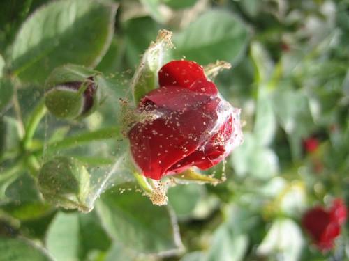 Вредитель поражает чаще всего розы