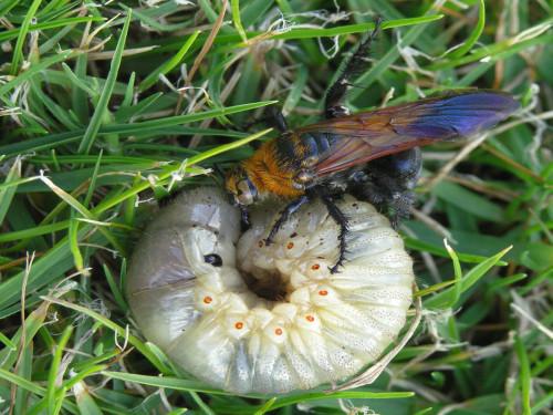 Парализованная личинка является пищей для личинки осы