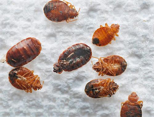При попадании дихлофоса на тело насекомого, клоп погибает