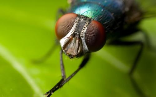 Глаза мухи имеют сложное строение - фасеточное