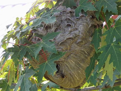 Большое гнездо ос на дереве