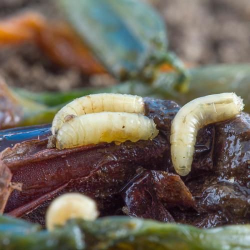 Личинки поедают лук изнутри