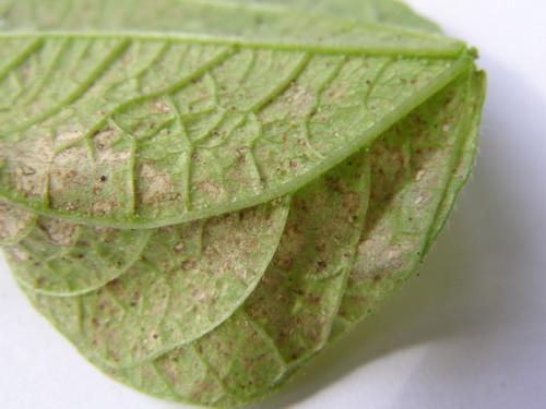 Так выглядит лист огурца, пораженный клещом