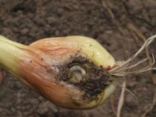 Так выглядит лук, пораженный личинкой луковой мухи