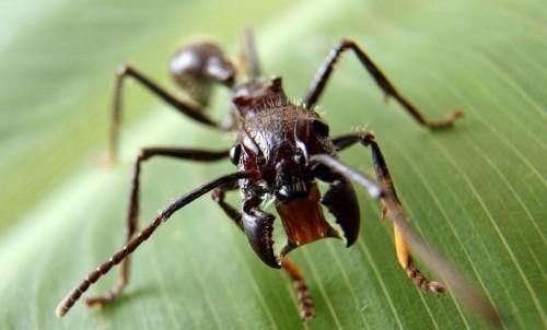 На фото муравей-пуля (Paraponera Clavata)