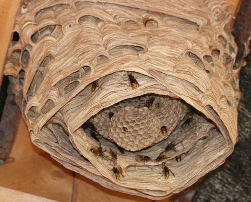 Насекомые защищают свое гнездо, если почувствуют опасность