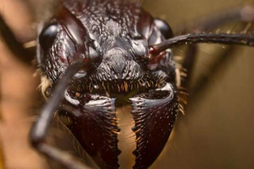 Укус Paraponera Clavata очень болезненный